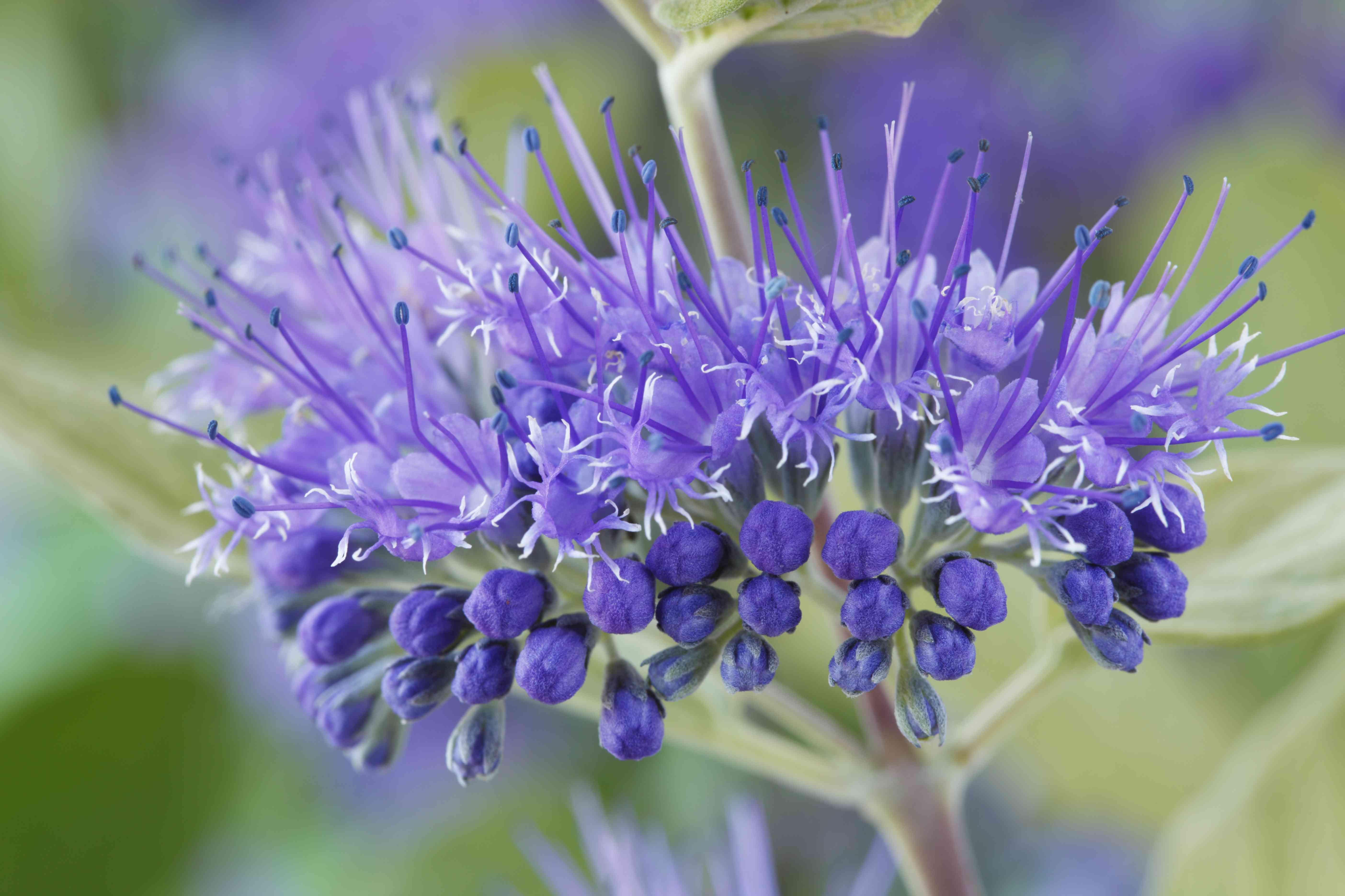 Blue Mist Spiraea (Caryopteris x clandonensis) 'Worcester Gold', September