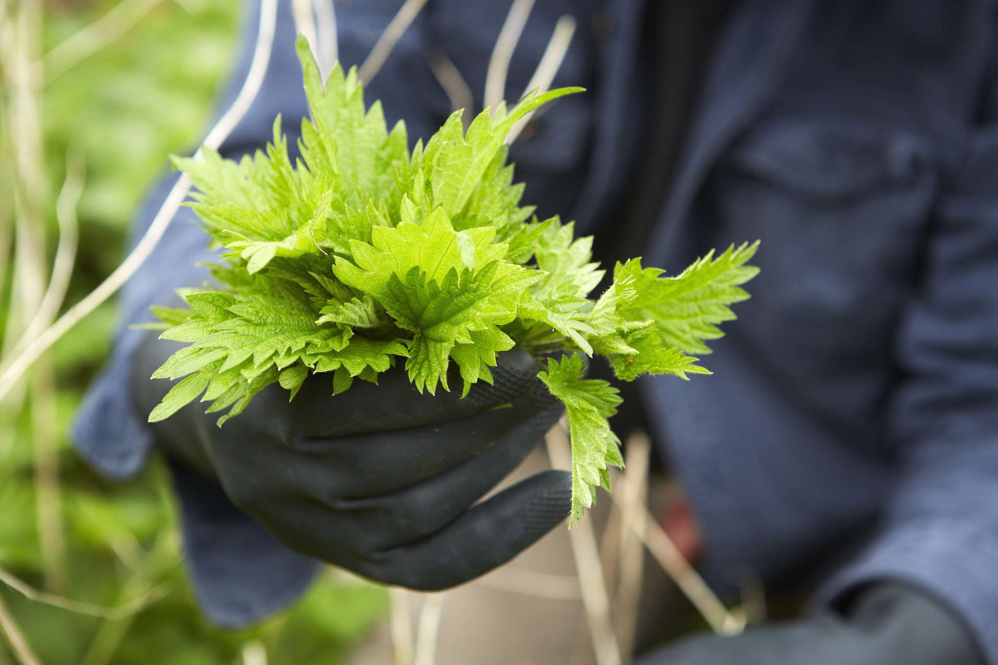 A man holding a fresh handful of stinging nettles.