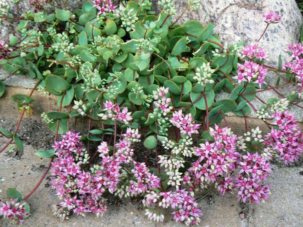 Pink Mongolian stonecrop with green leaves and pink and white flowers