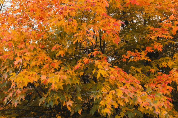 red maple tree with brilliant foliage