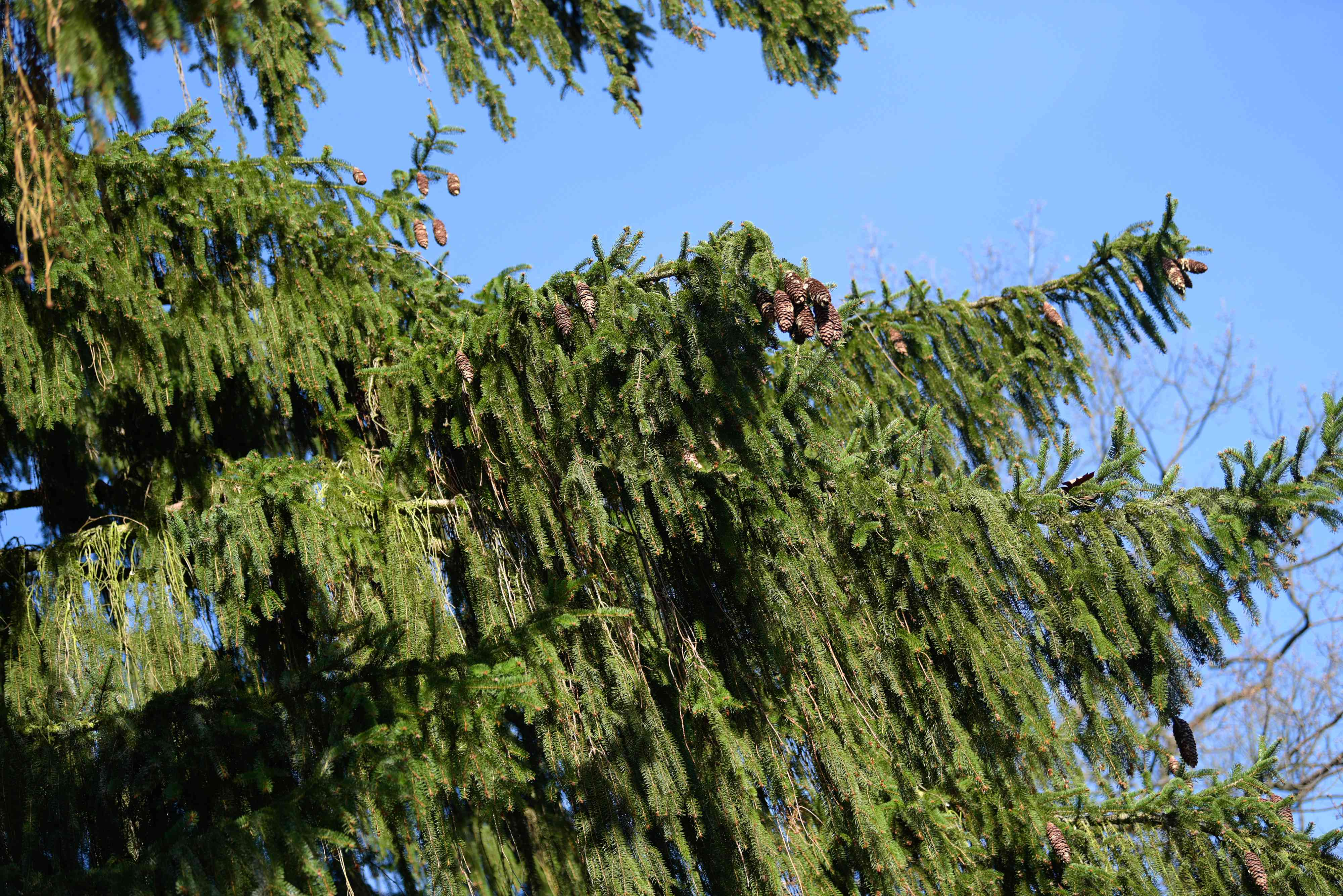Norway spruce tree with weeping branches with pinecones at ends against blue sky