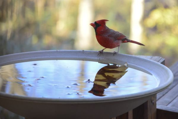 Backyard bird bath attraction for birds and other animals, Northern Cardinal (Cardinalis cardinalis) reflected in water, Athens, Tennessee, USA
