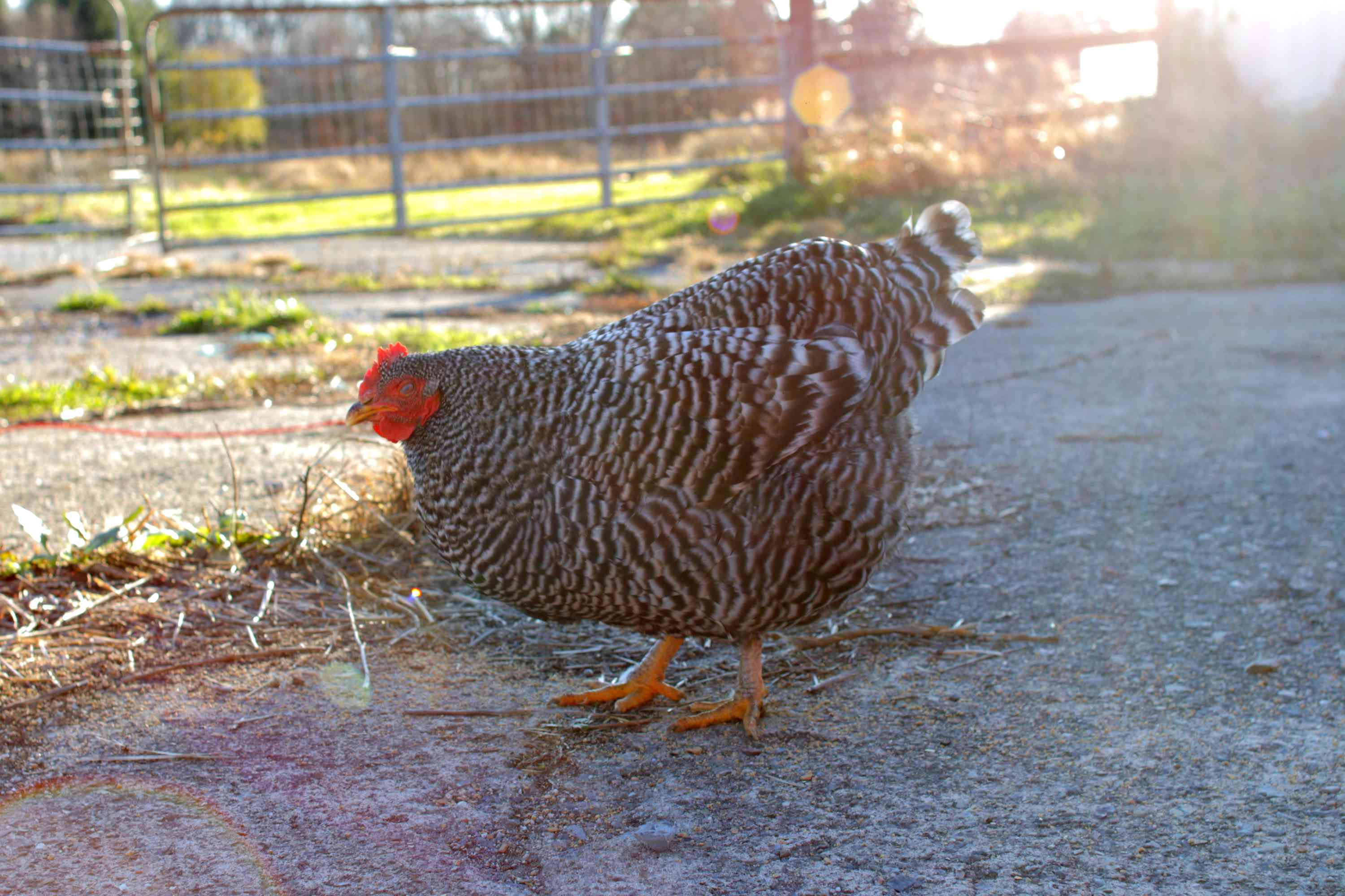 full body shot of a Plymouth or barred rock chicken