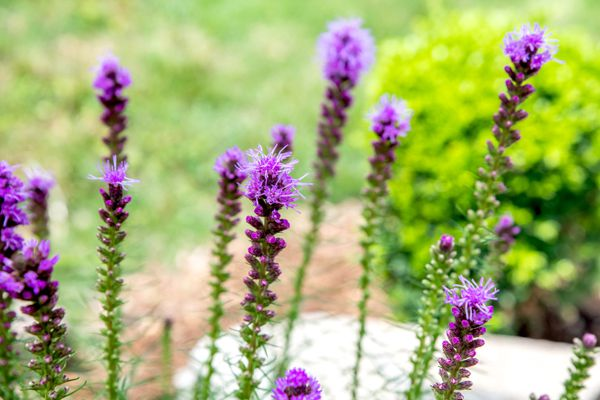 Prairie blazing star plant with thin spikes of bright purple flowers and buds closeup