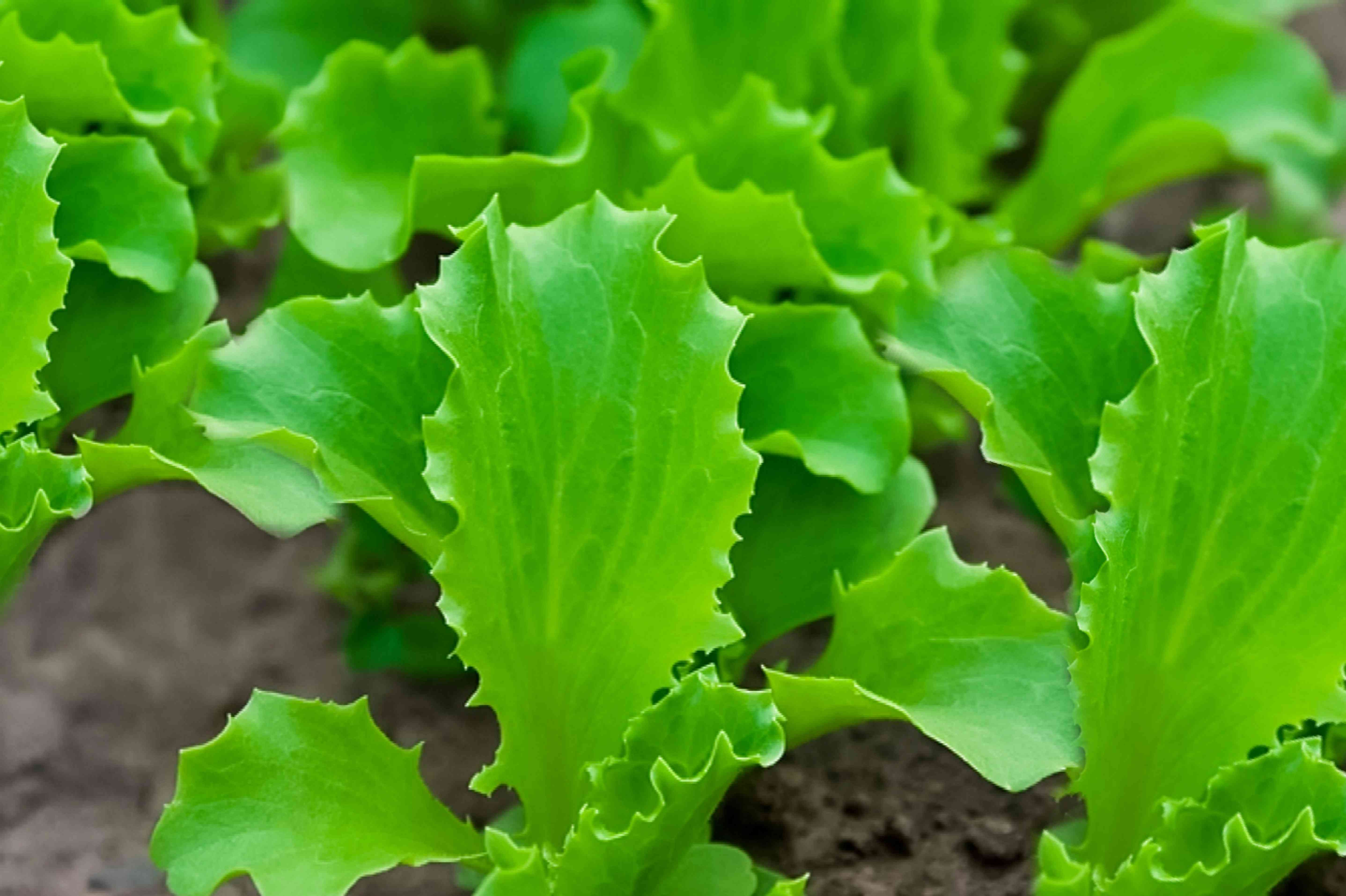 basal leaves, at the base of lettuce crops
