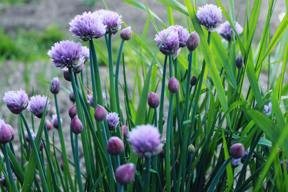 Lilac flowers on chive plants