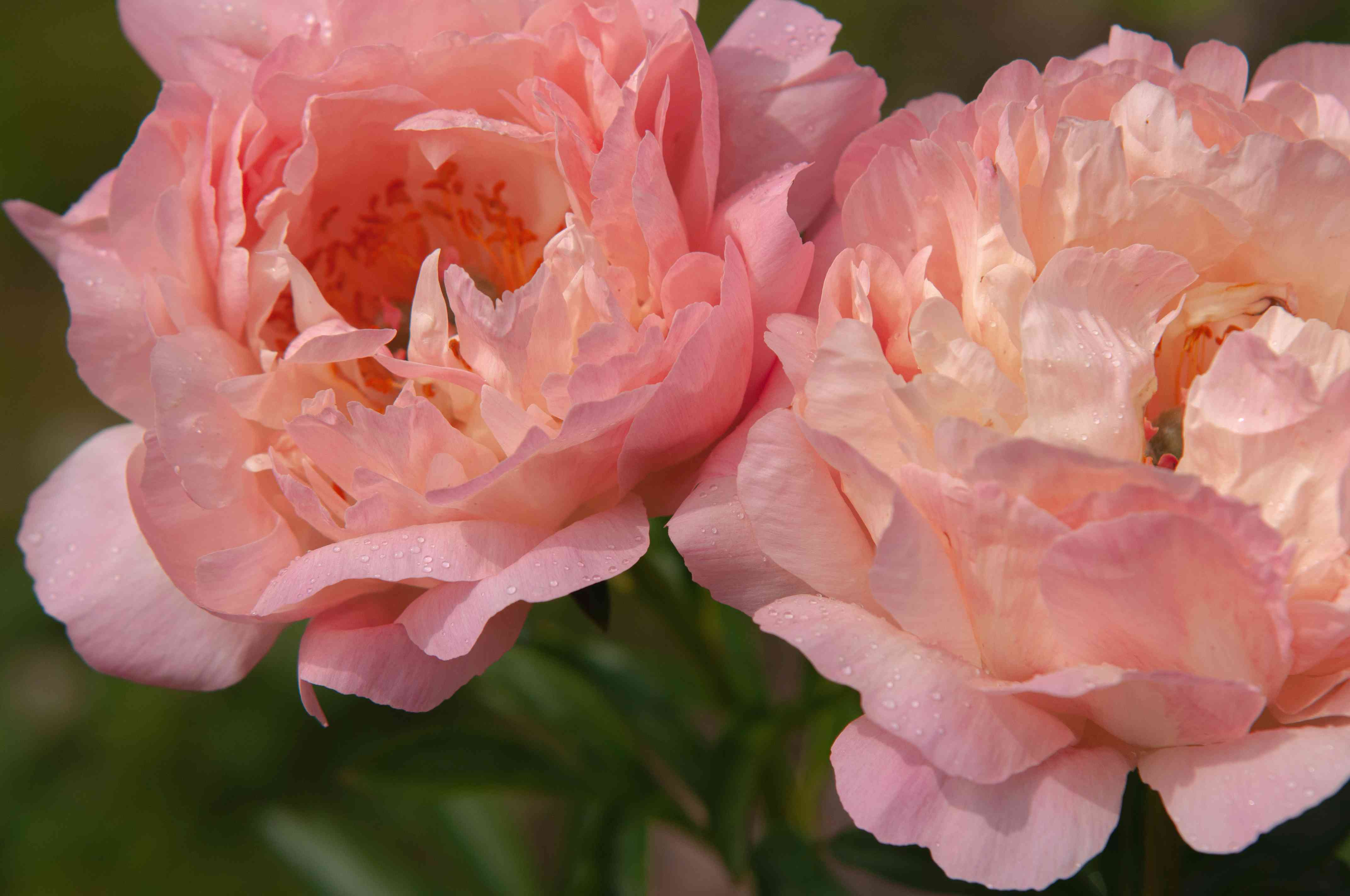 Peonies flowers with ruffled light pink flowers closeup