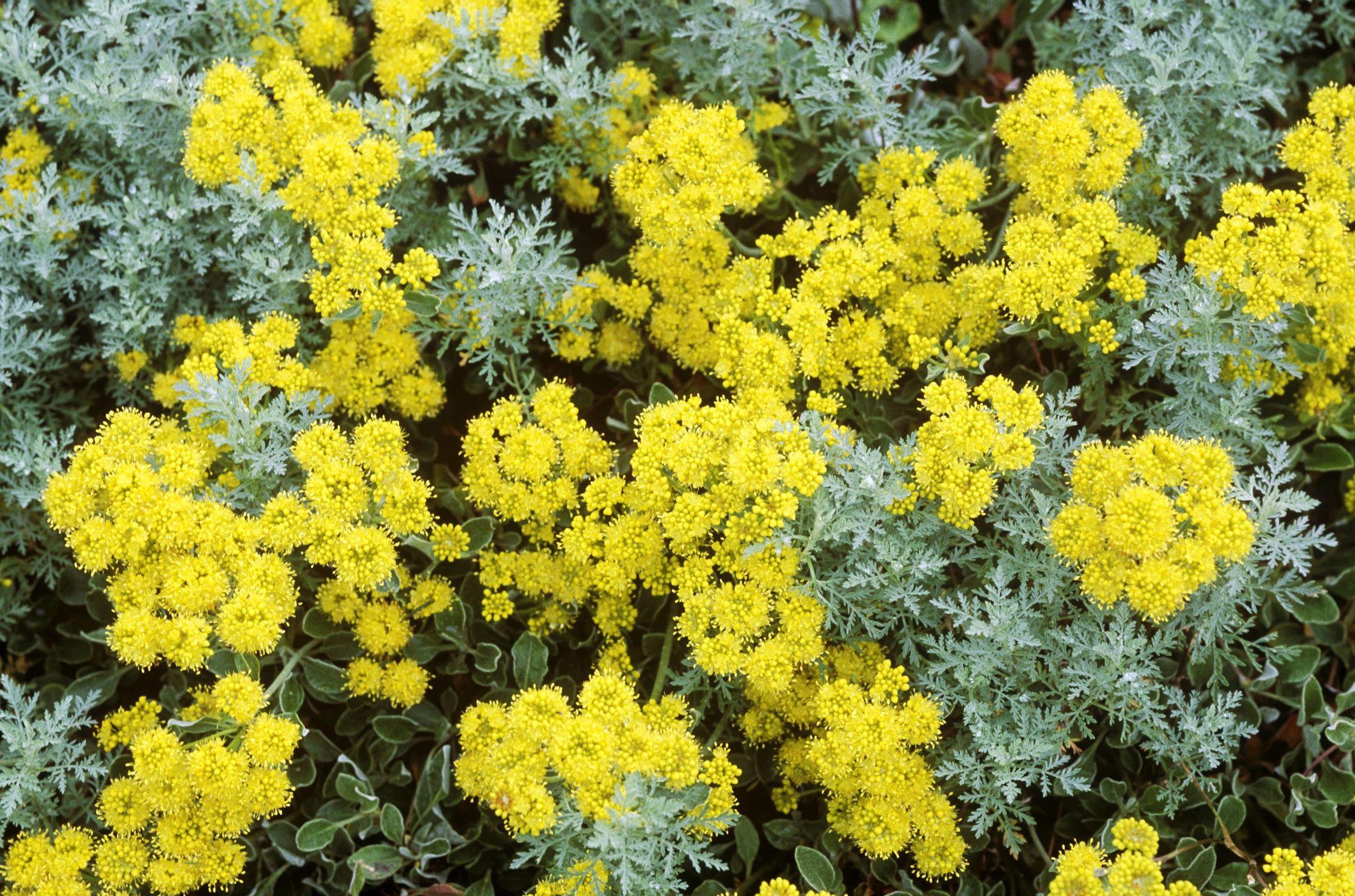 Coloridas flores de zinnia