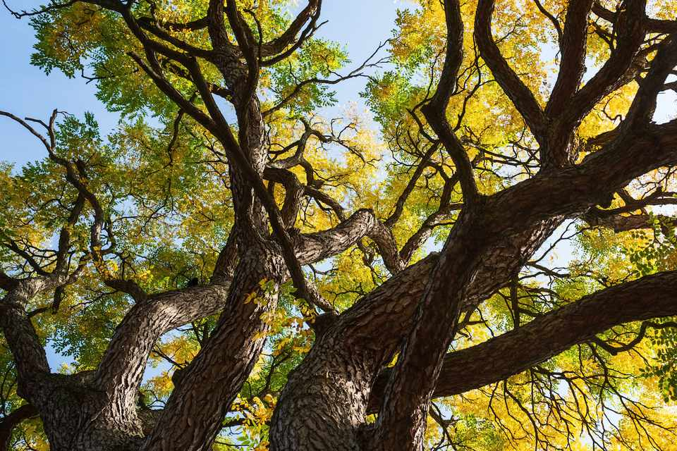 Looking up into majestic tree with twisting branches and green leaves turning to yellow
