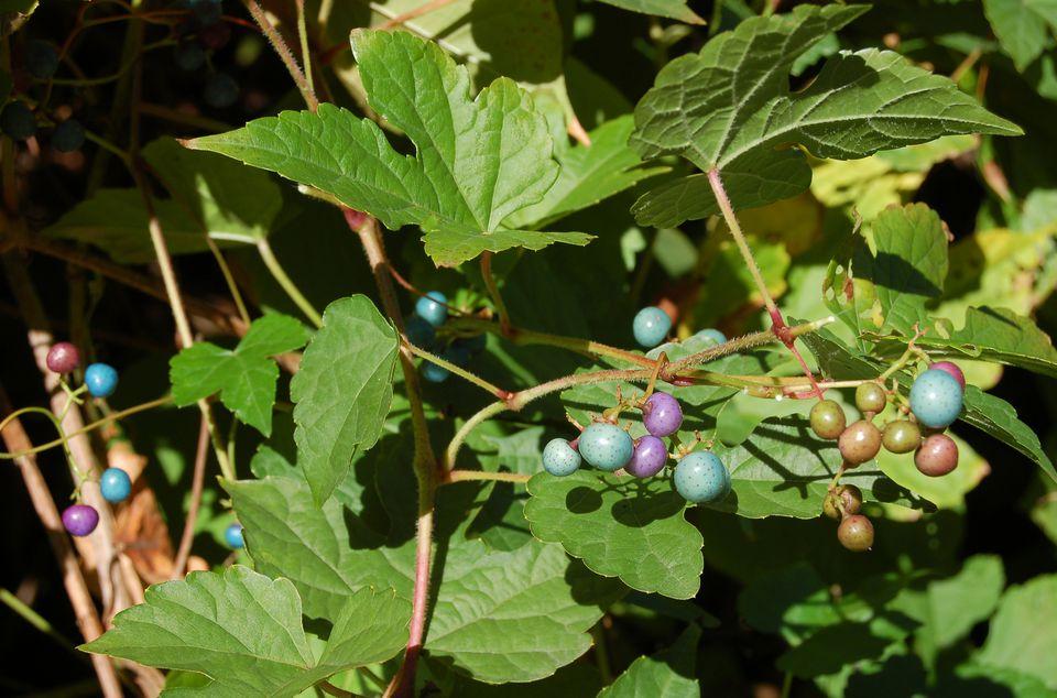 porcelain berry vine