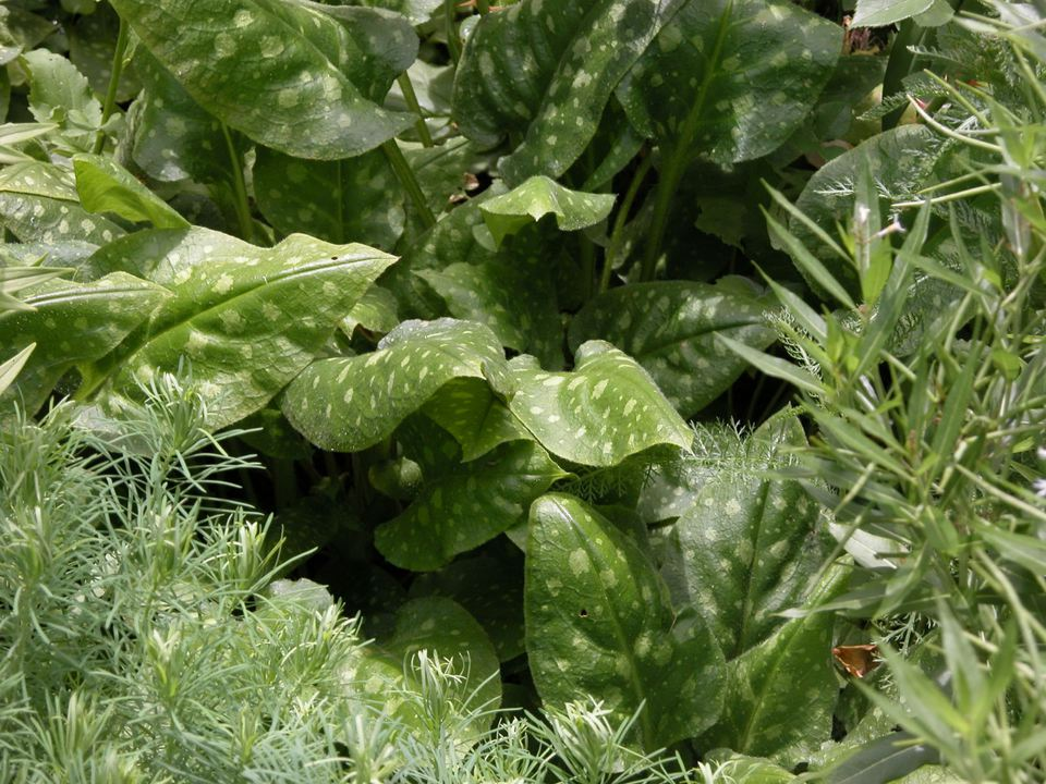 Best Plants For White And Silver Shade Gardens