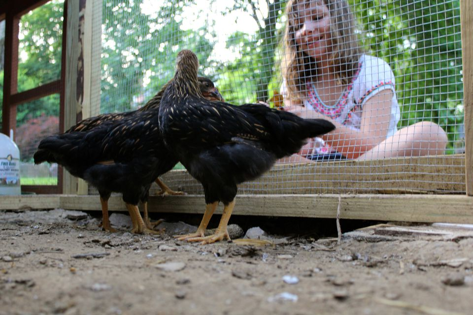 Young girl feeding two black chickens in a chicken coop in a backyard in the city.