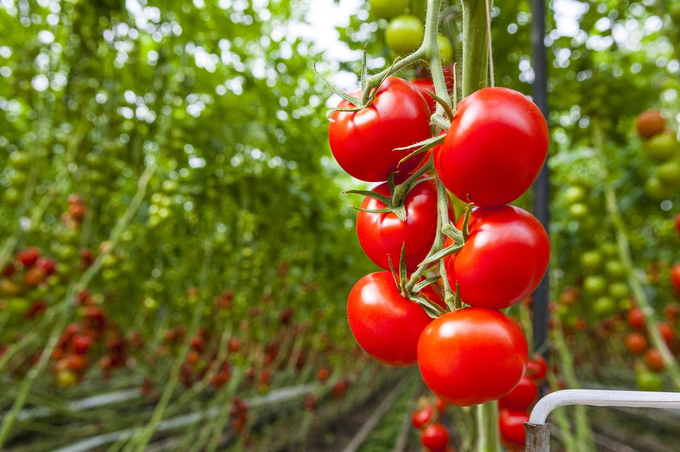 Closeup of a Beefsteak Tomato (Solanum lycopersicum) plant in the Netherlands