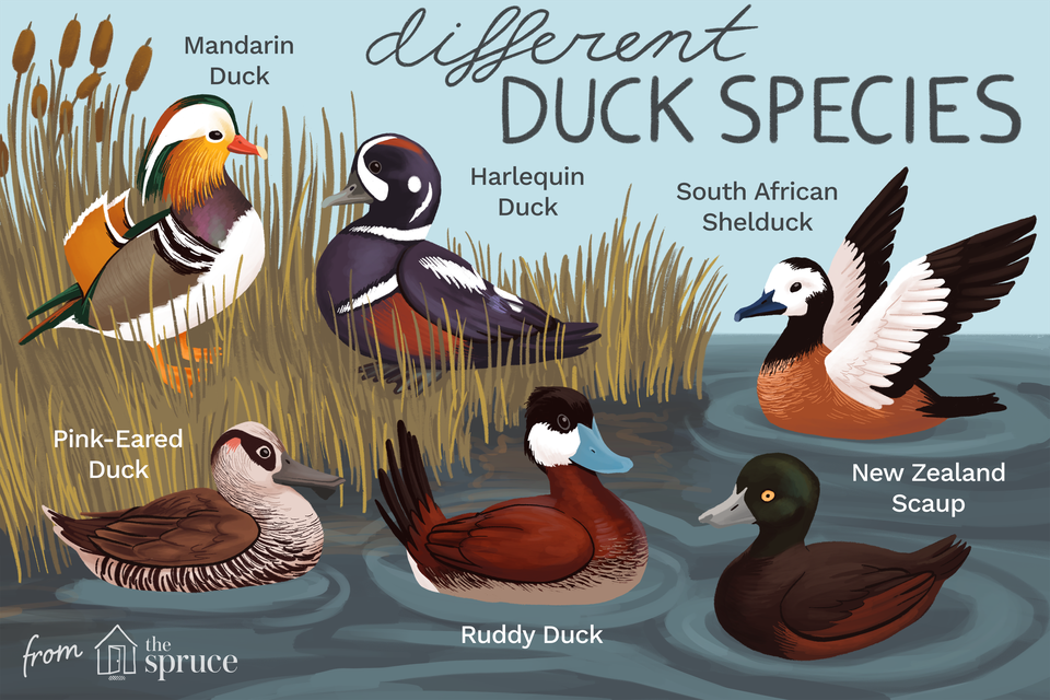 different duck species illustration