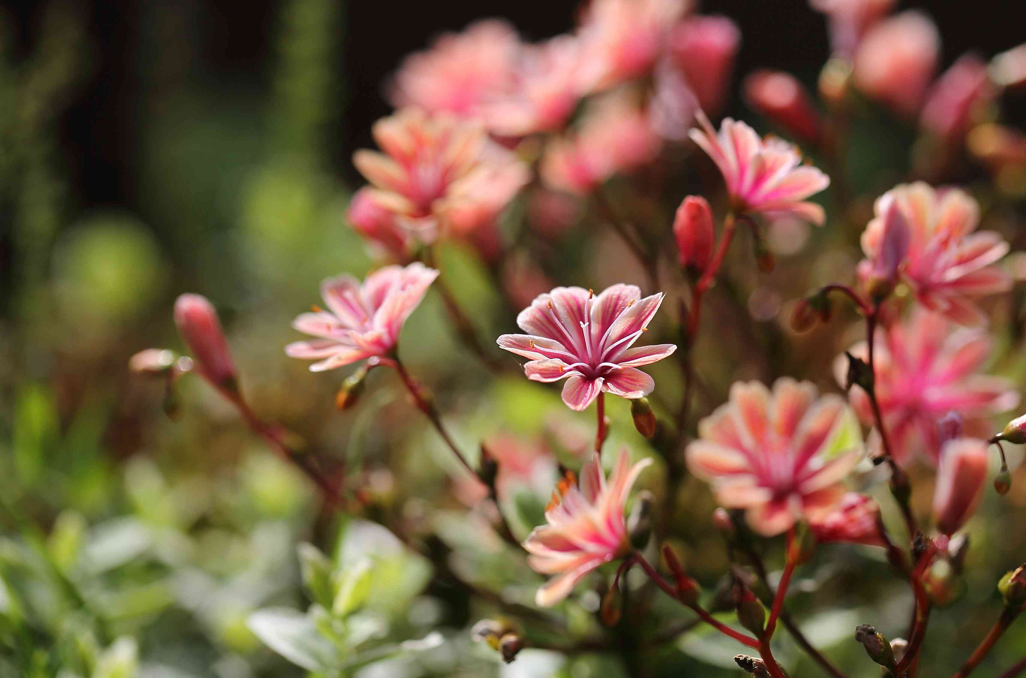 Lewisia with salmon blooms.