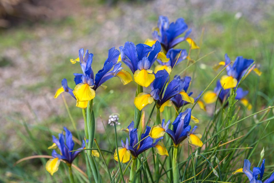 Iris flowers with blue standard and yellow falls petals on thin stalks