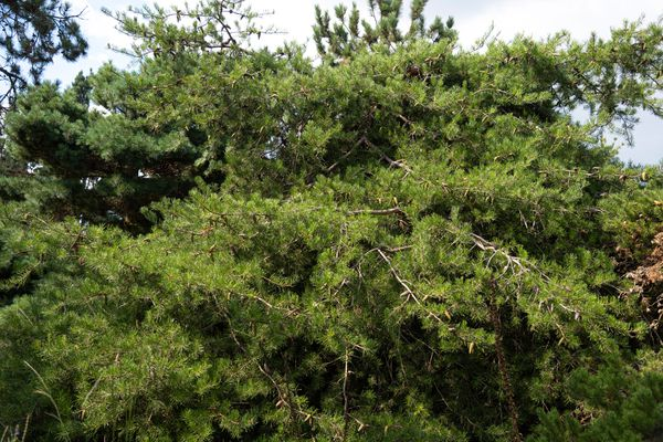 Virginia pine tree branches with short and twisted needles