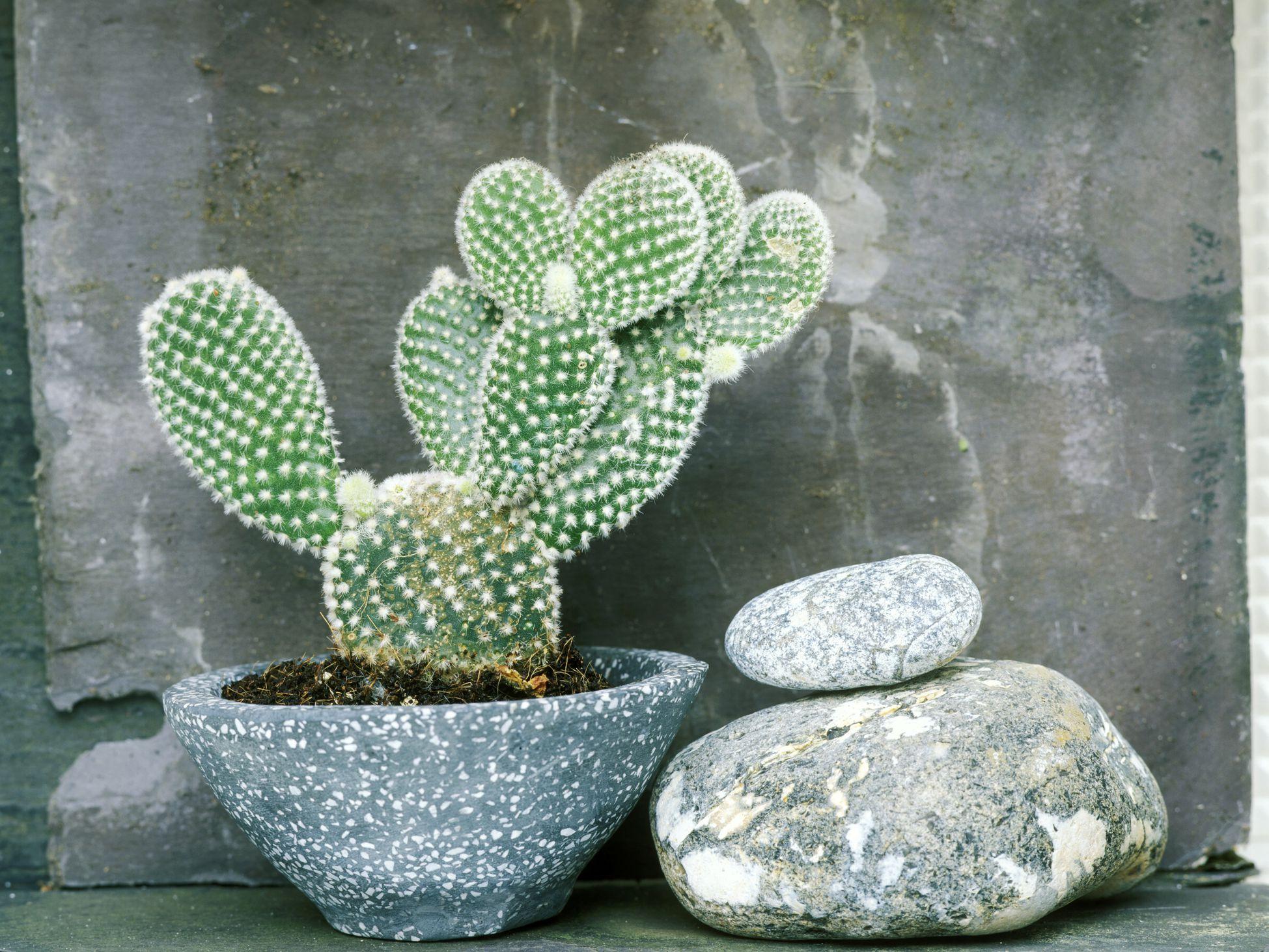 8 Best Cactus Varieties To Grow Indoors