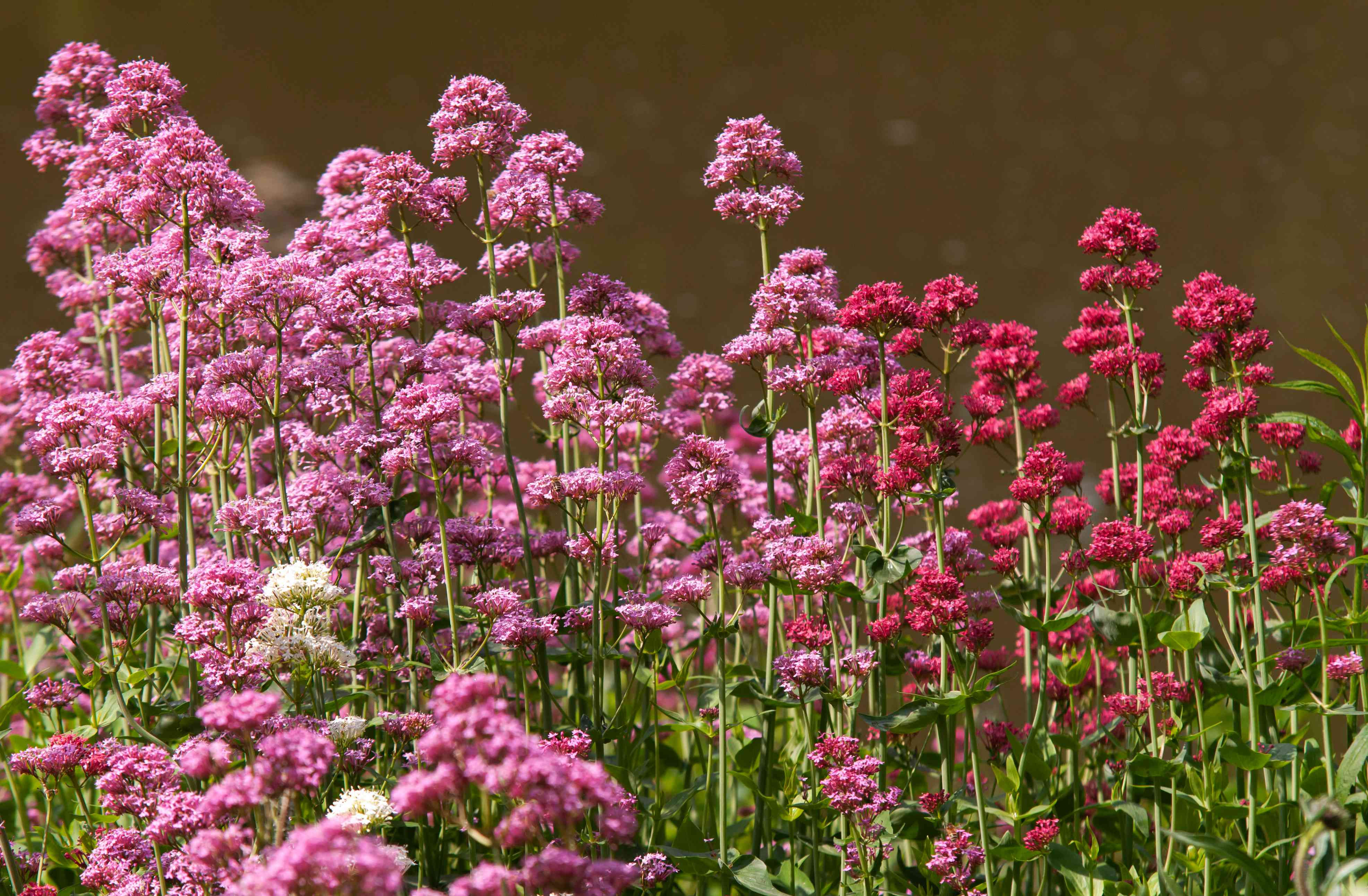 Red valerian stems with pink and red flowers