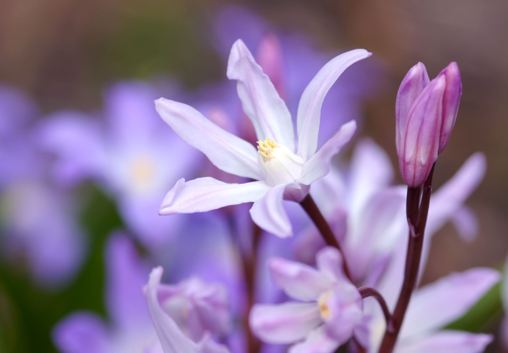 Chionodoxa plant in bloom.