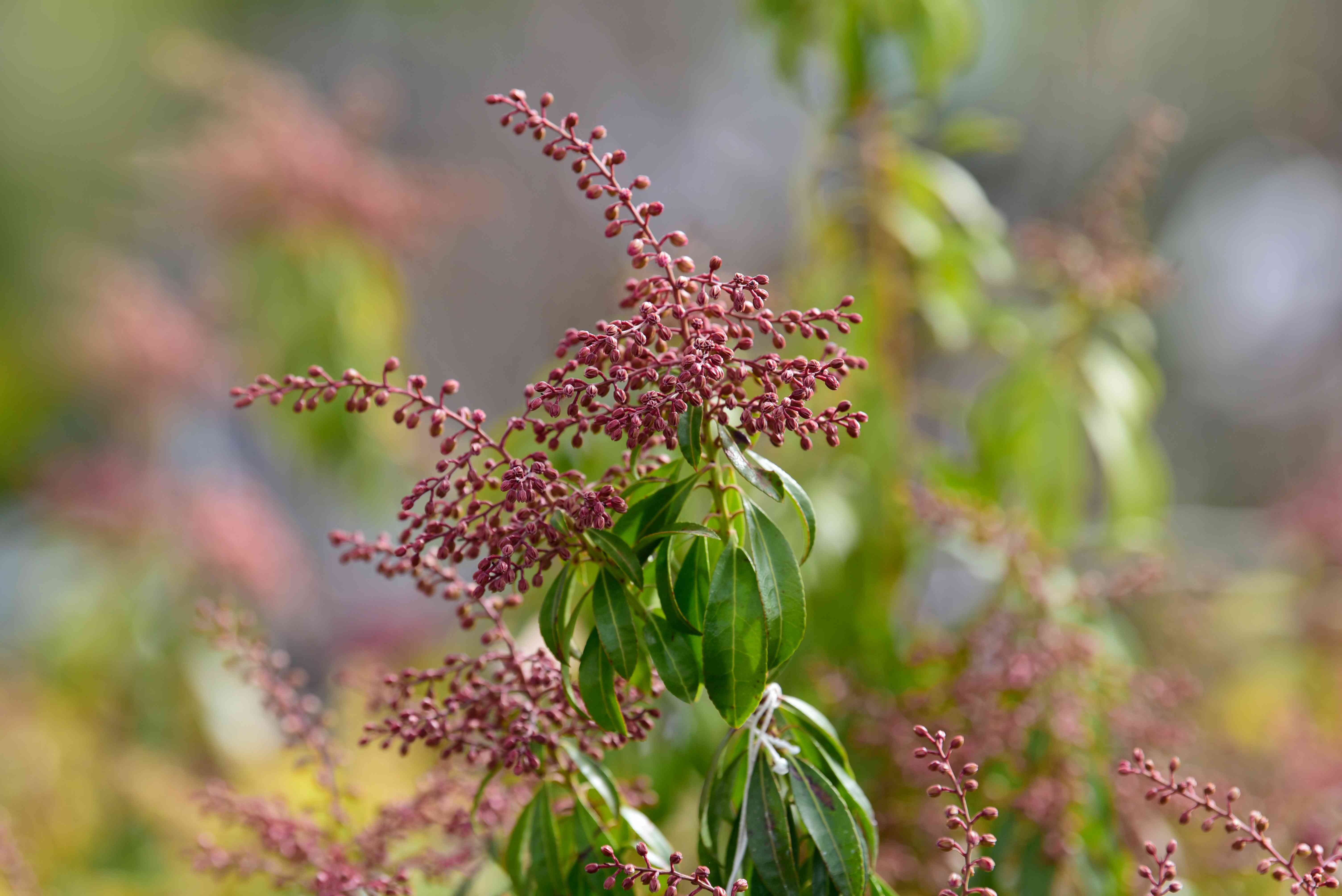 Japanese andromeda plant with small pink buds on flower stalk and leaves