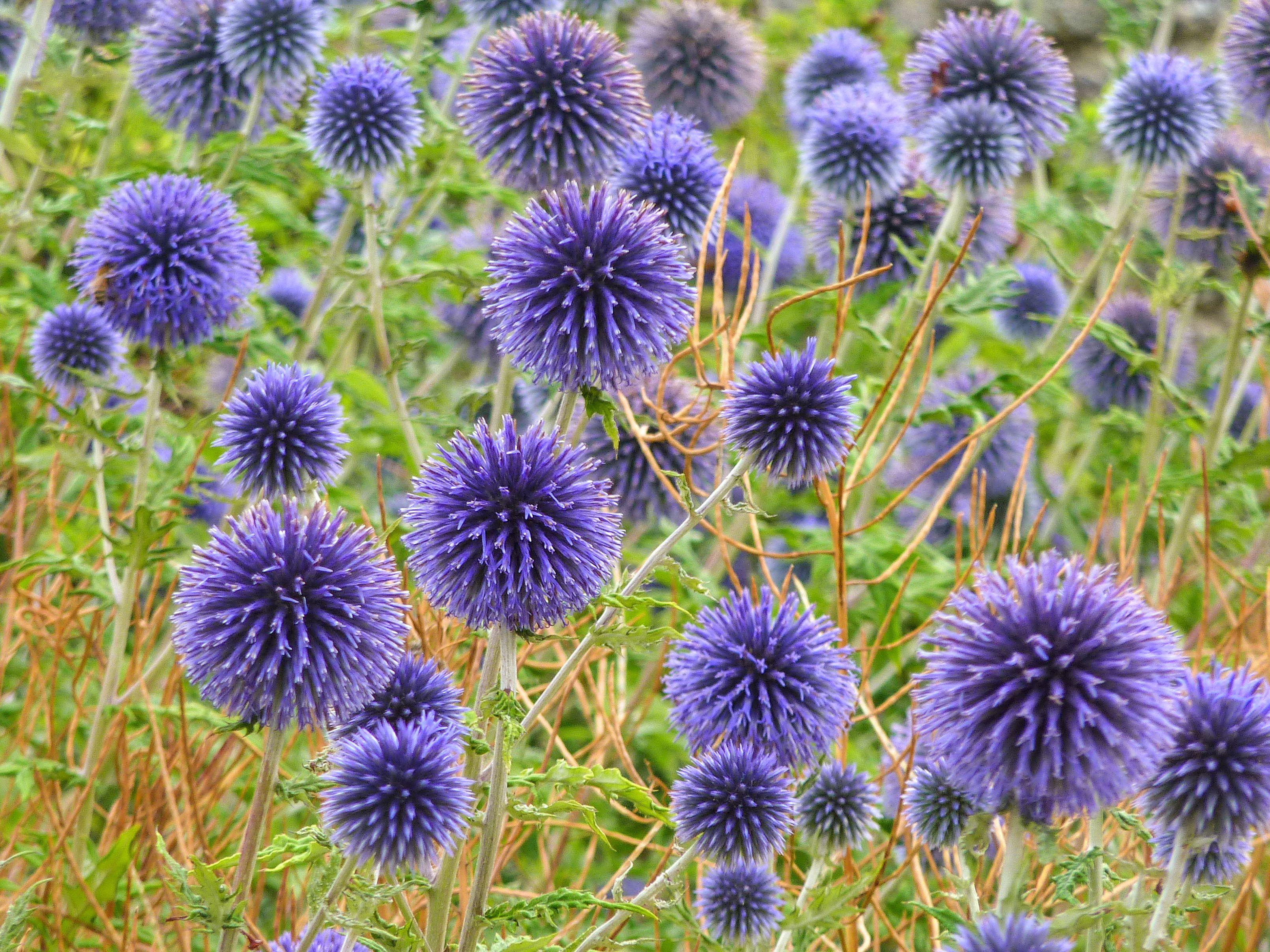flores de cardo de globo