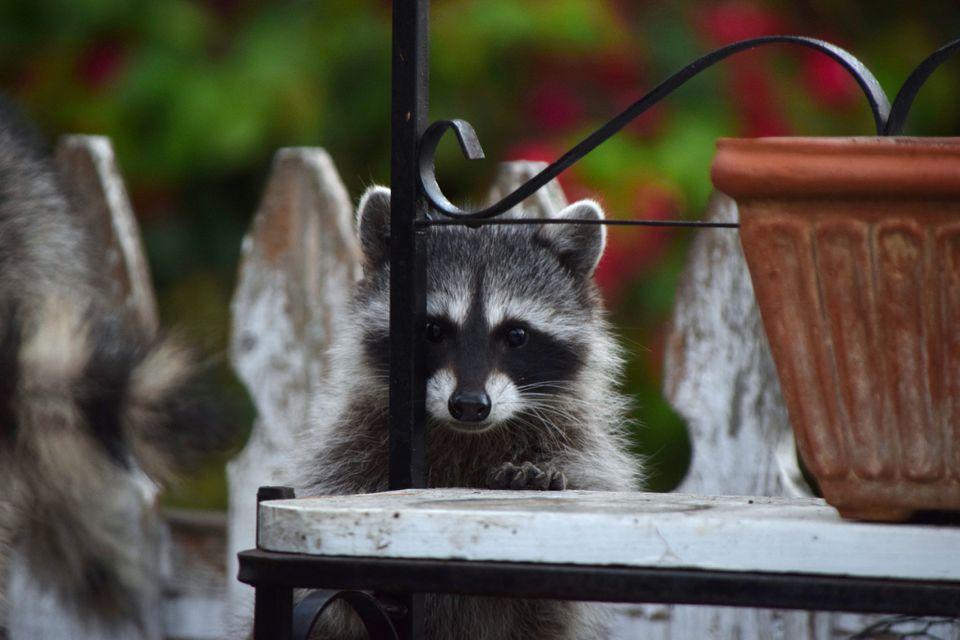 racoon behind yard bench