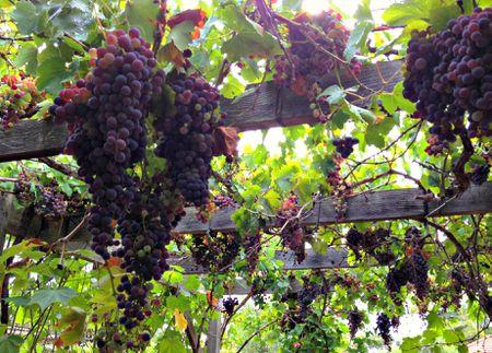 grapes on pergola - The Best Vines For Pergolas And Arbors