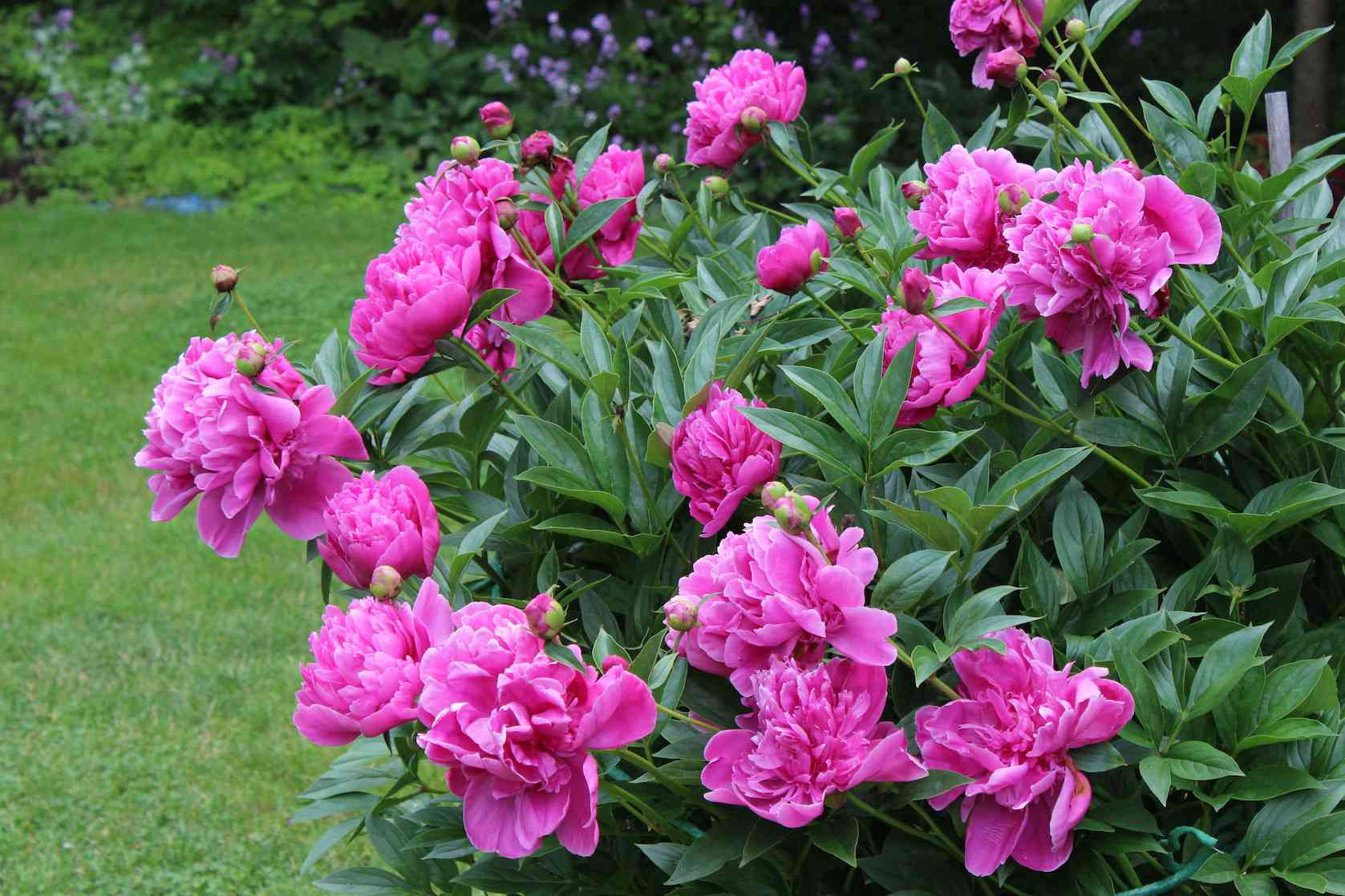 Bright pink peonies growing inn a clump in foreground, green lawn and purple flowers in background