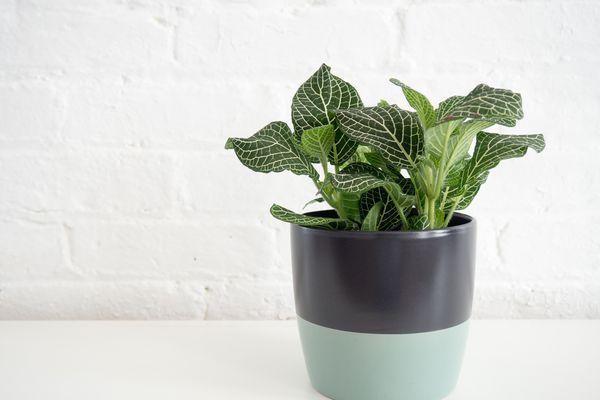 a fittonia in a multicolored planter