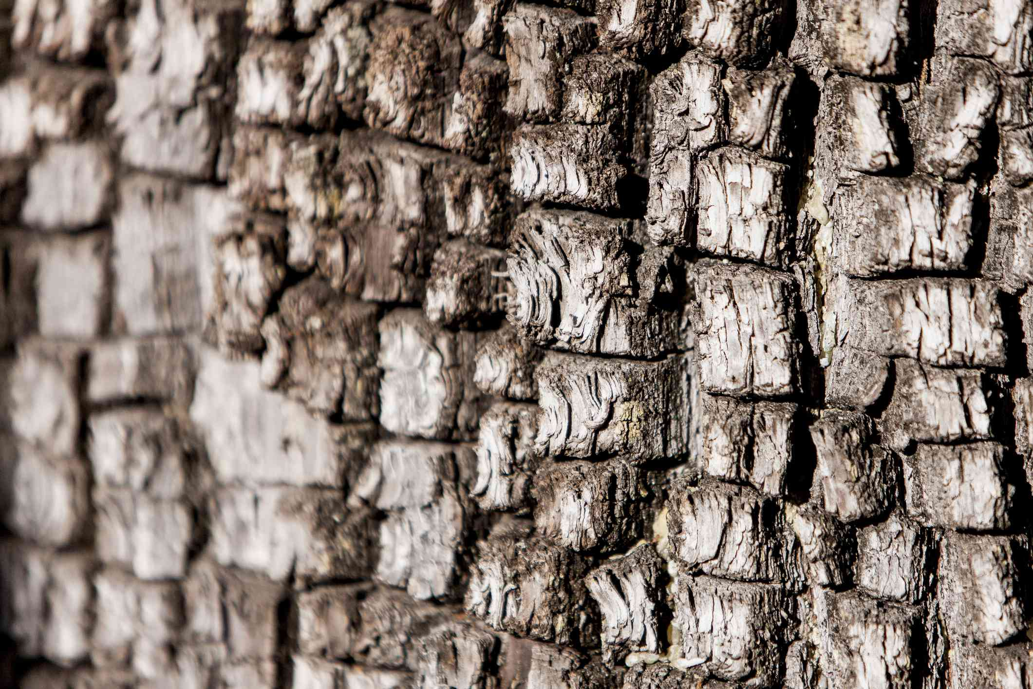 Alligator Bark