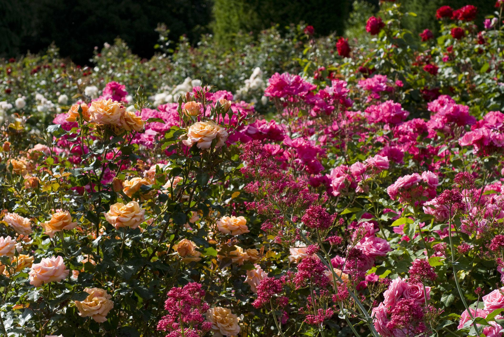 15 Floribunda Roses for the Flower Garden