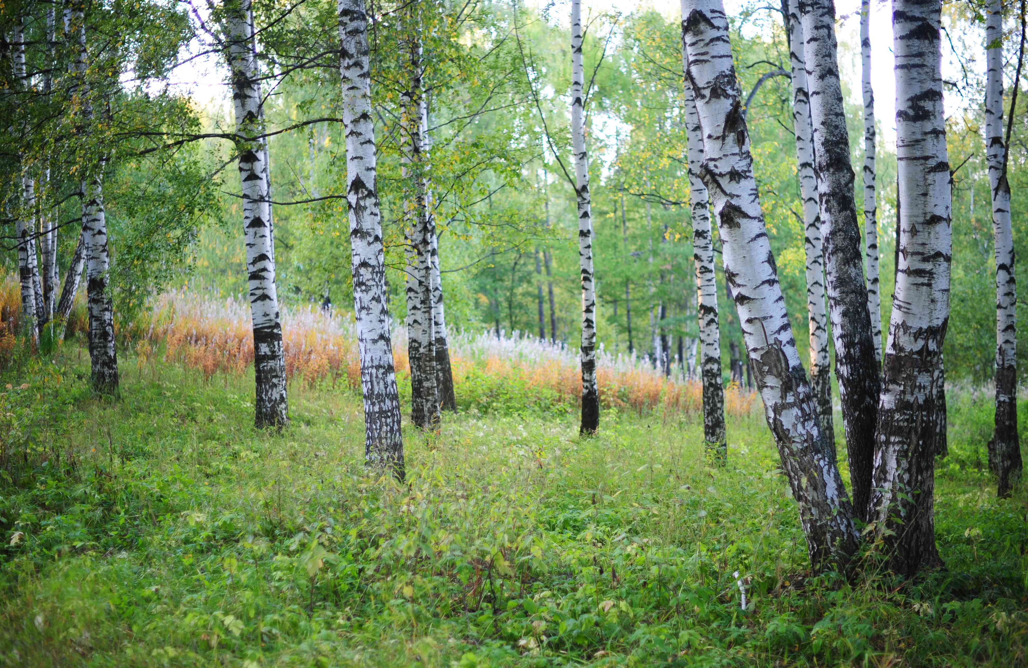 Silver birch trees in forest with silver colored trunks