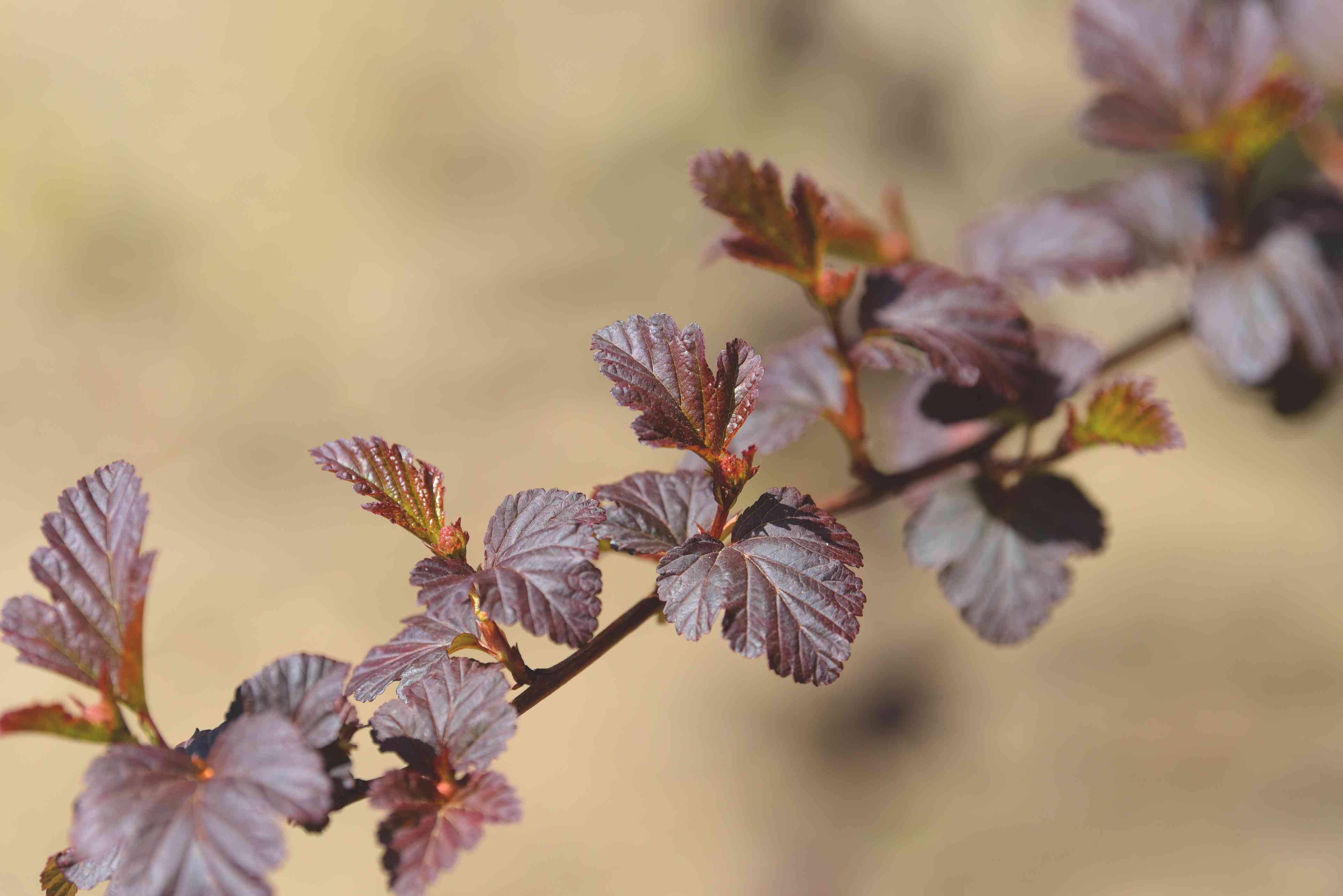 Diablo ninebark branch with reddish and purplish leaves in sunlight closeup