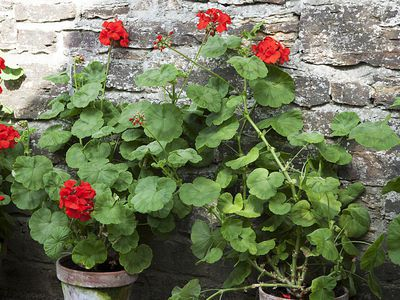 Geranium in pots against stone wall