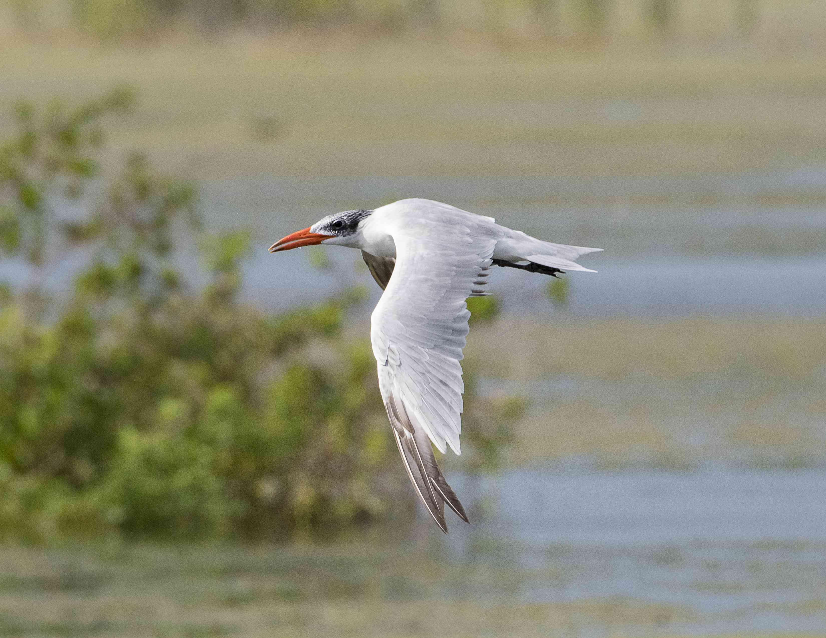 Flying Caspian Tern