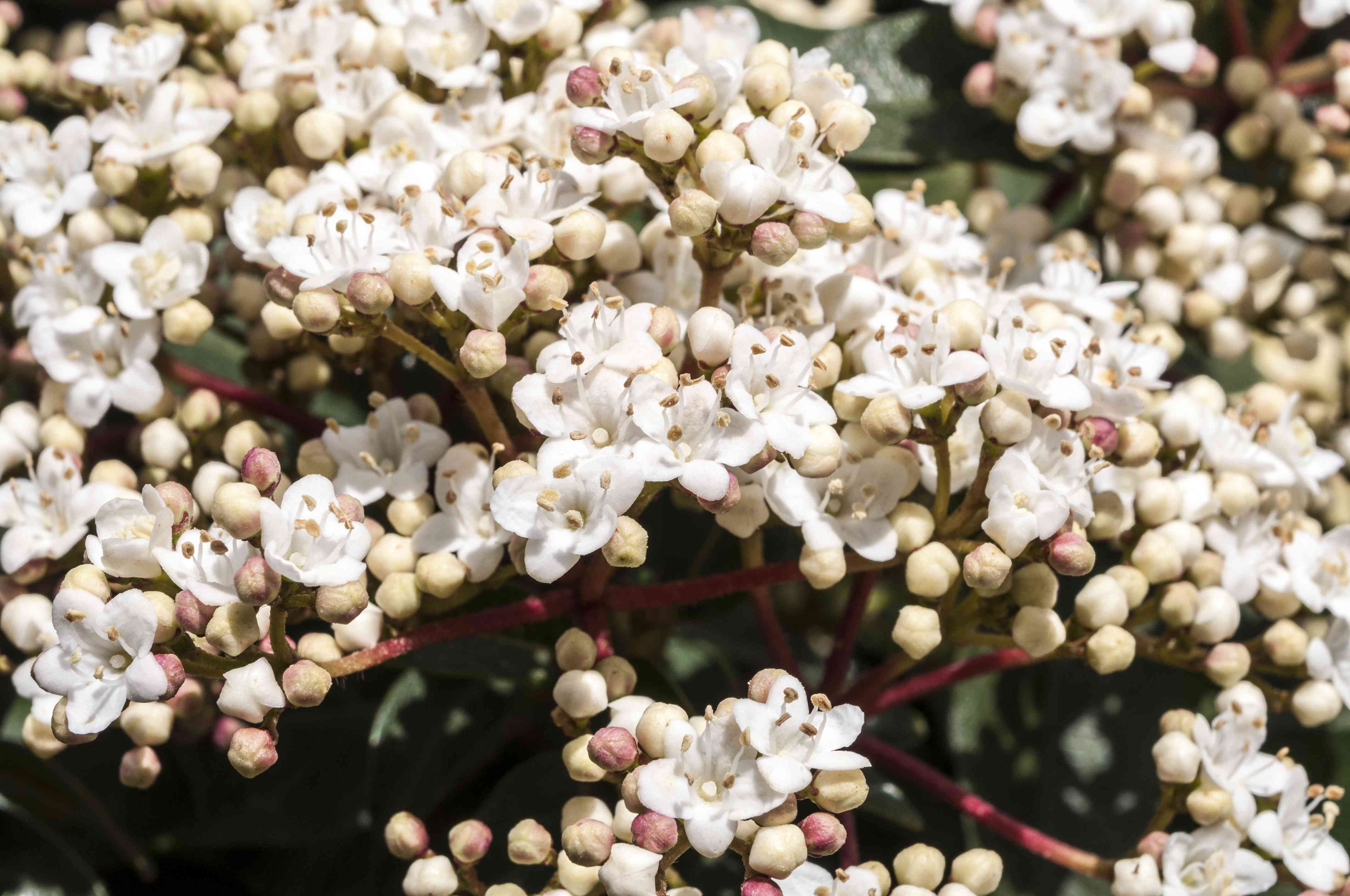 Laurustinus viburnum