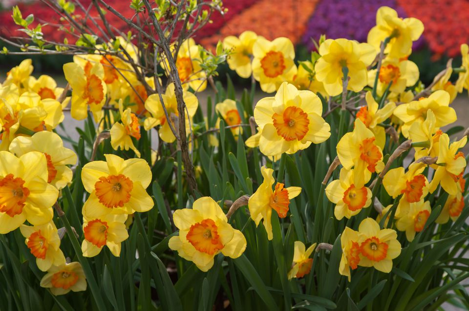 Yellow hearty daffodils with orange blooms