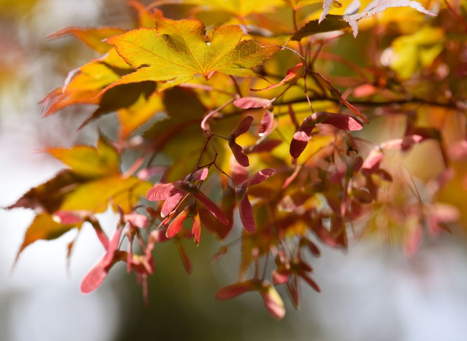 Japanese maple tree branch with red helicopter seeds and orange and yellow leaves closeup