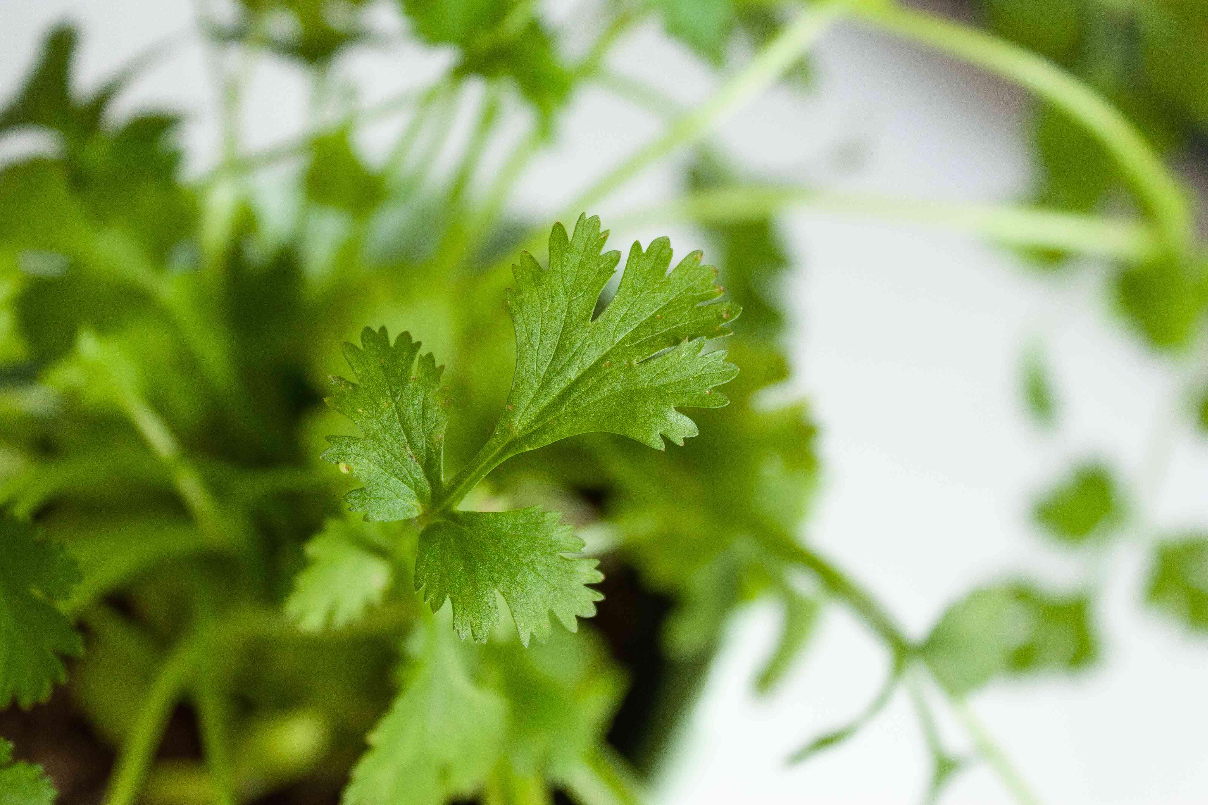 closeup of cilantro leaves