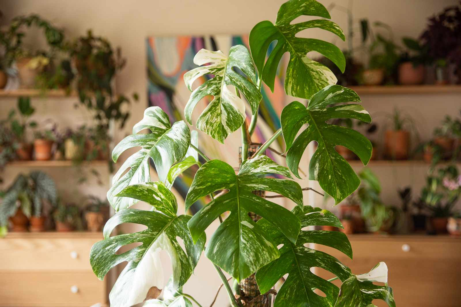 Expensive white and green variegated monstera in front of houseplants
