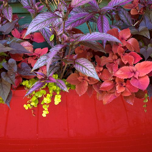container garden picture of Persian Shield in mixed contianer
