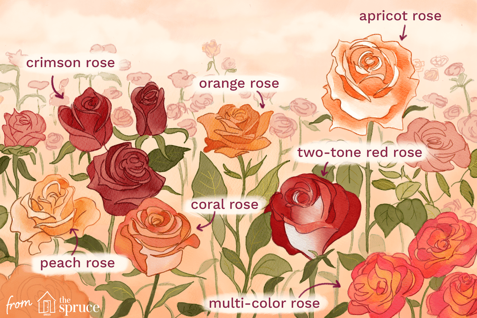 types of roses illustration