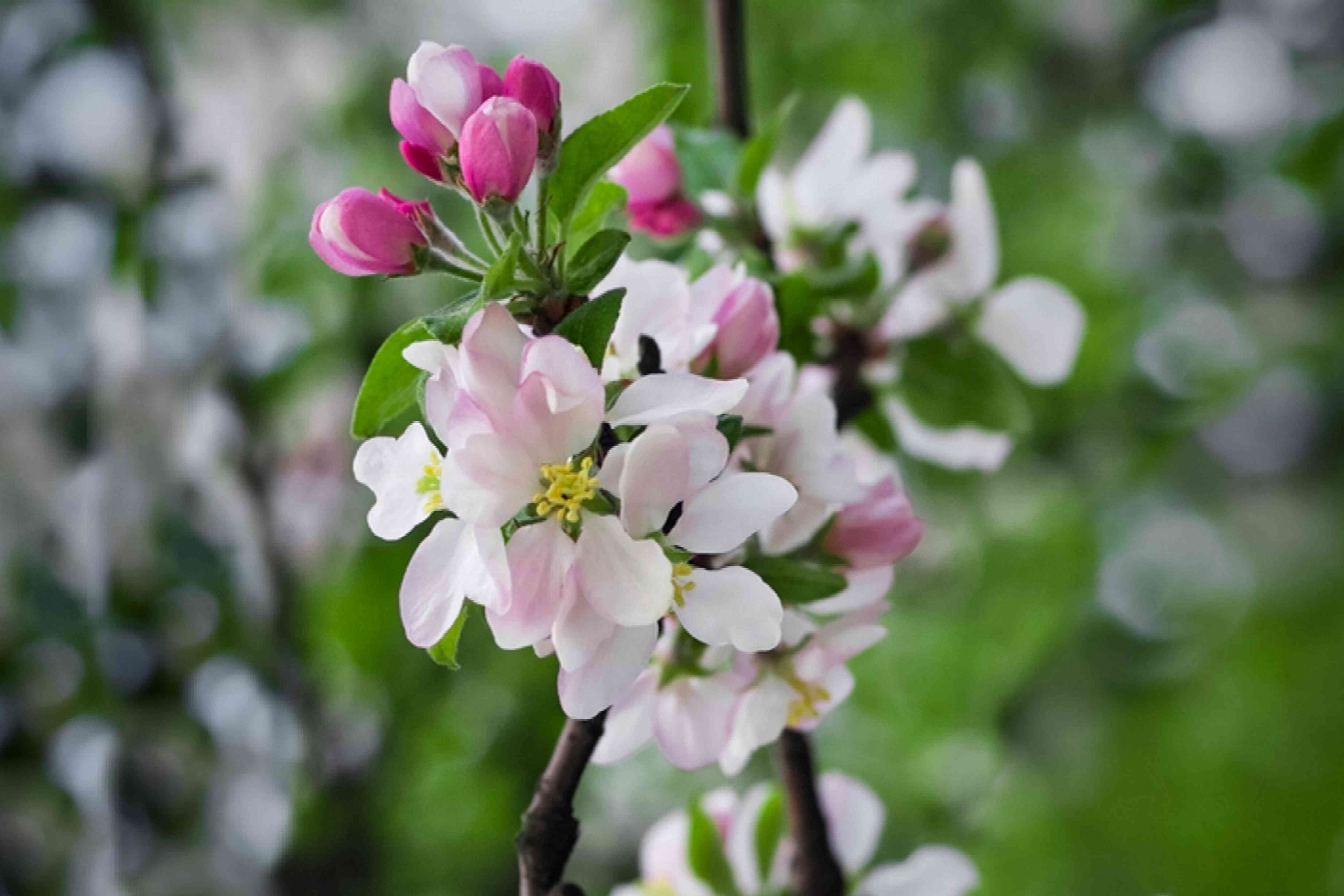 Early harvest apple tree branch with small white flowers and pink buds closeup