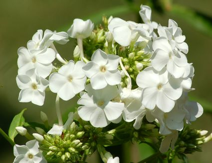 How To Grow And Care For Woodland Phlox
