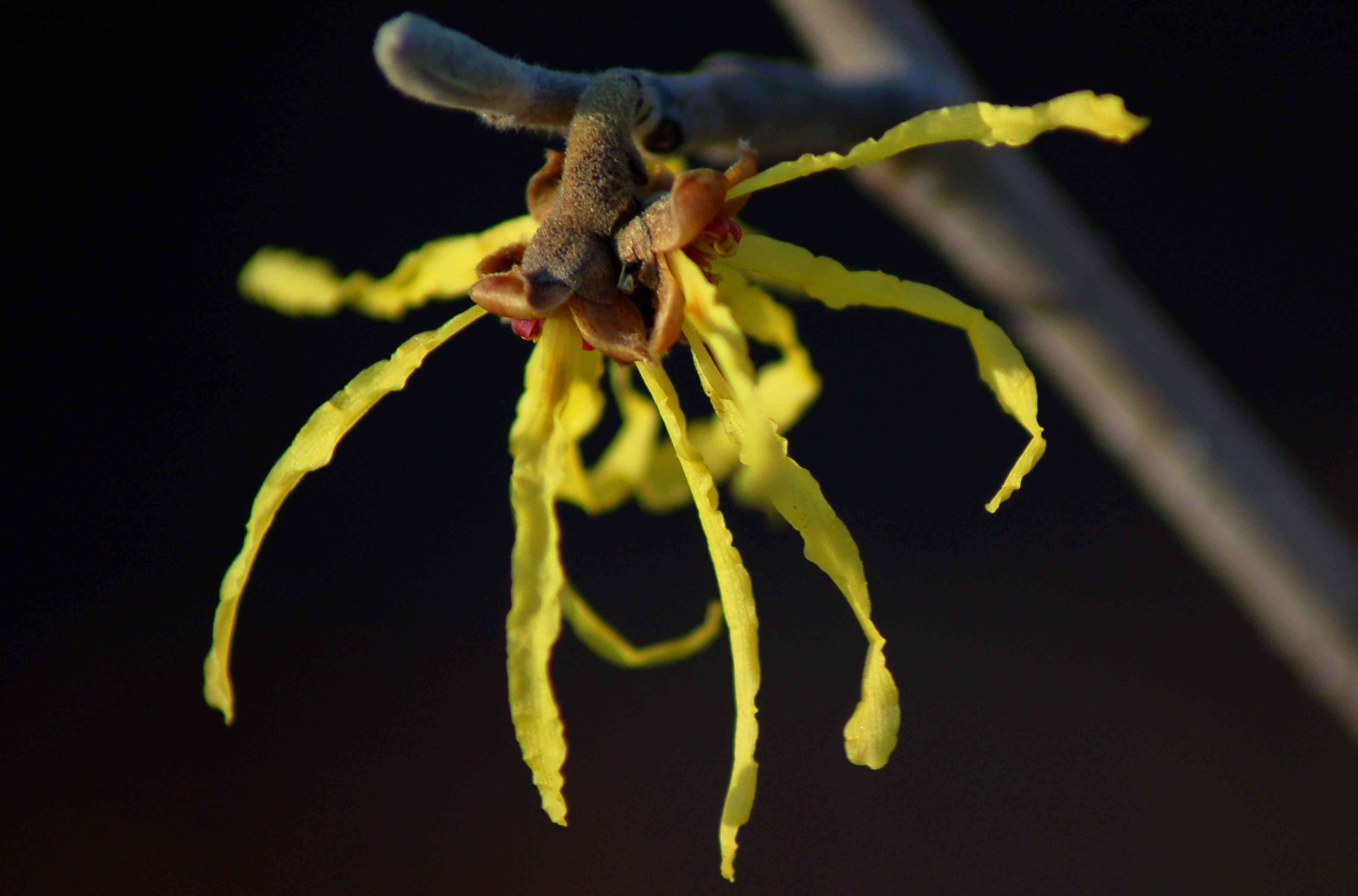 Witch hazel plant with thin yellow petals closeup