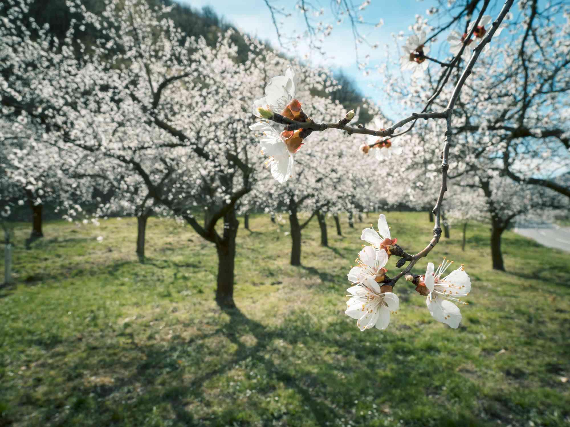 Albaricoqueros en flor