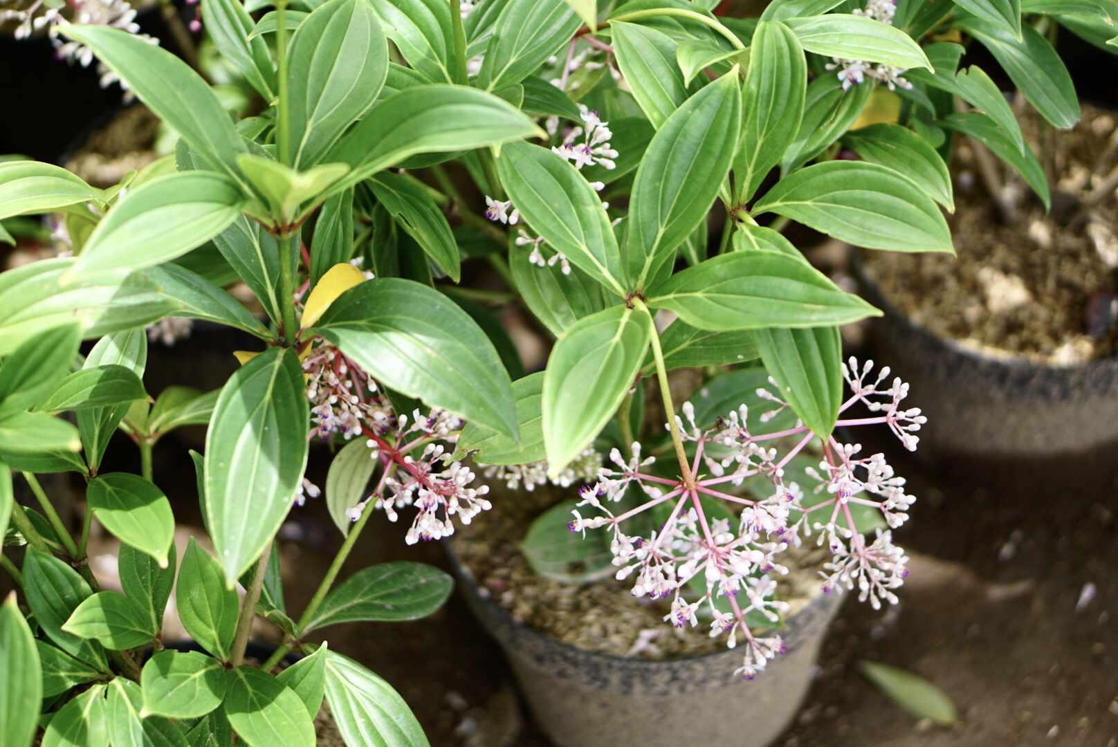 medinilla growing in a pot