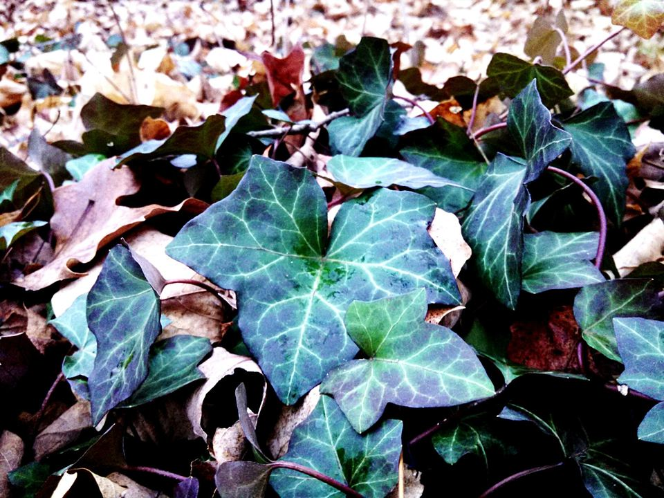 Ivy growing on a field