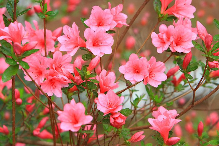 Bright pink azalea blooms in spring.